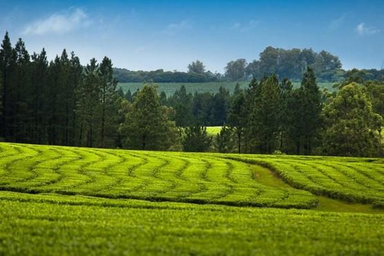 Conocer el té misionero mejora las oportunidades de mercado en el mundo