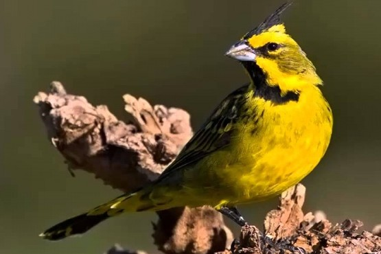 Liberaron cardenales amarillos luego de un trabajo de recuperación