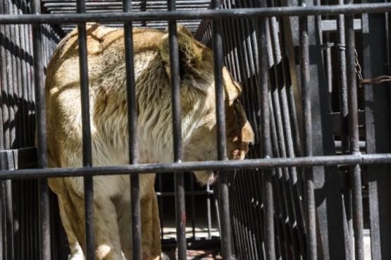 Continúa el traslado de animales del Zoo de Mendoza
