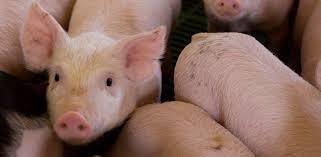 Triquinosis y la forma segura de consumir carne de cerdo