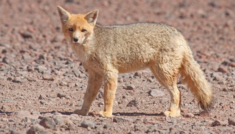 Analizan el efecto de las políticas de conservación regional sobre la fauna de mamíferos del monte